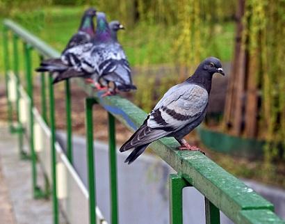 control de aves urbanas Mallorca